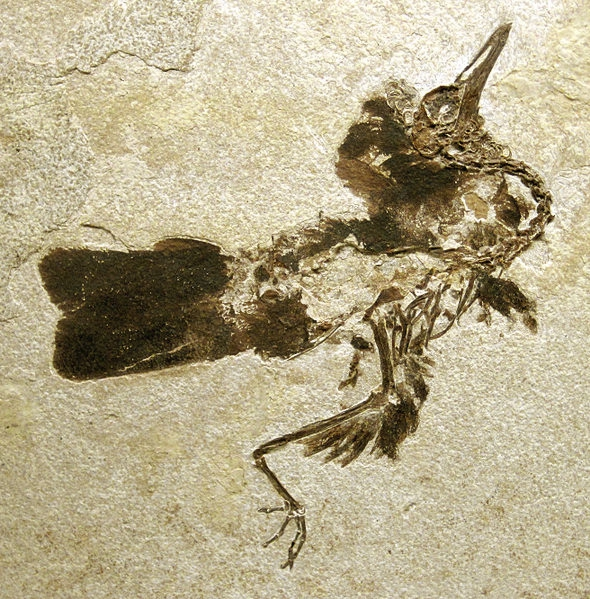 Fossil bird, Green River, Wyoming.  Creative Commons.