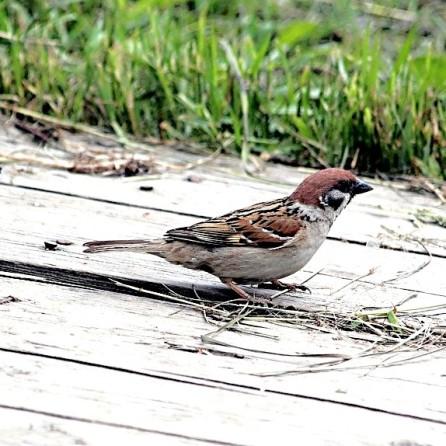 Eurasian sparrow (passer montanus) (CCO)