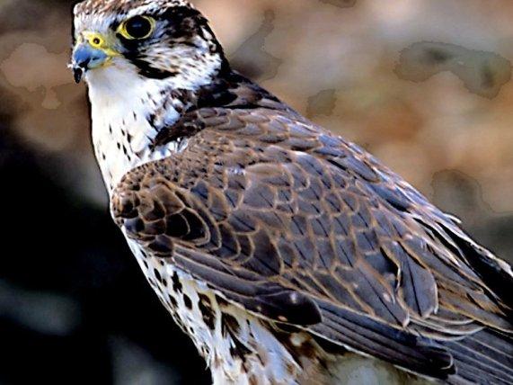 Mid eastern sakara falcon (Wikipedia Commons)