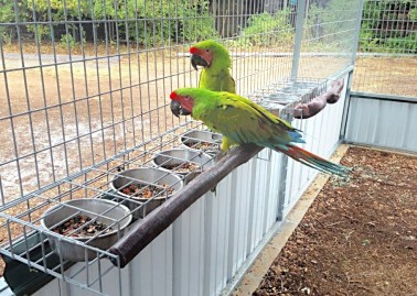 Green macaws -- what a site! -- comfortable and eating at the special enclosed food bowls featured in this design (Courtesy of Chris Biro)