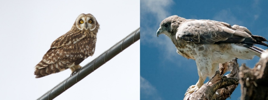 Pueo (Hawaiian owl, Asio flammeus) and 'io (Hawaiian hawk, Buteo solitarius).  Creative Commons