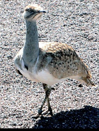 Bouhara Bustard (Creative Commons)