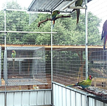 Green macaws enjoying their day; notice one is in a nesting space of the aviary (Courtesy or Chris Biro)