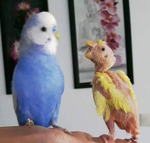Such a bold bird! (courtesy @featherless_budgie_coco (IG))
