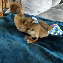 Baby Howard joins the flock in his new improved ducky diaper (Courtesy of @turknmolly (IG))