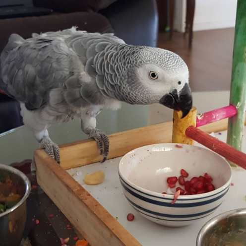 Luna, a Congo African grey, enjoys pomegranate (Courtesy of @Luna_the_rescue_grey (IG))