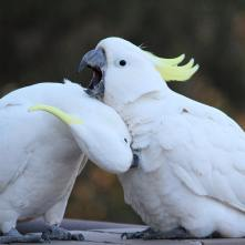 Momma preening baby (Courtesy of @Sydneycockatoos (IG))