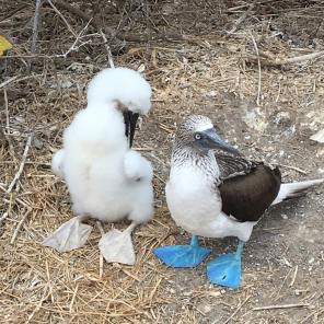 Blue-footed booby chicks can appear larger than their parents due to their extreme fluffiness (Courtesy of @carolin_bibi (IG))