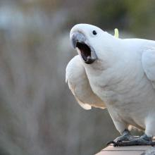 """Muuuuumm!"" One very noisy baby! (Courtesy of @Sydneycockatoos (IG))"