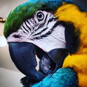 Look at that tongue! Did you know a parrot's airway opens at the tip of the tongue? (Courtesy of @i_met_manko (IG))