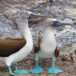 You can see the difference between male and female blue-footed boobies in pupil size: the females have larger pupils (Photo courtesy of @justin_w_bates (IG))