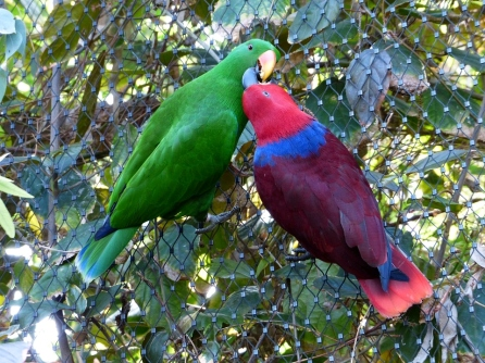 Male and female eclectus parrots (COO Creative Commons): Male Ecleci are primarily green while the female unusually carries the bright courting colours. The strikingly different bright colors of the mates means the Eclectus parrot (eclectus rorati) displays sexual dimorphism.