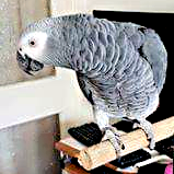 Rex, a rescue African Grey (Courtesy of Gill Horwell (IG))
