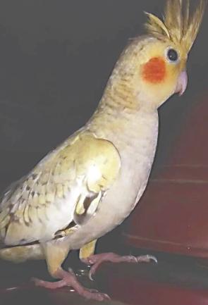 Cockatiel Coco (Courtesy of @meet.mittu_coco_cleo (IG))