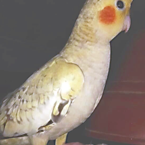Cockatiel Coco (Courtesy of @meet.mittu_coco_cleo (IG))