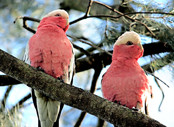 Pair of wild galahs (CCO-Creative Commons)