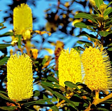Australian banksias (CCO--Creative Commons)