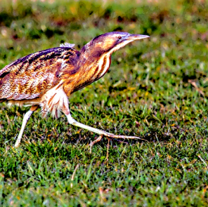 Australian bittern (Courtesy of Glenda Rees, at https://www.flickr.com/photos/nzsamphotofanatic)