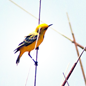 Capricorn yellow chat (Courtesy of Wikimedia)