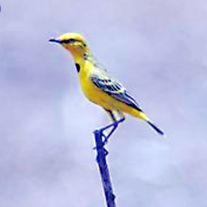 Alligator River yellow chat (land manager.org.au)