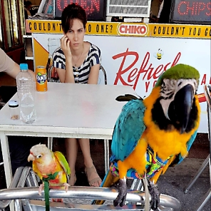 Manko Macaw and Mango Conure jazz it up at the seaside (Courtesy of Adrienne Bennett (FB) and @Krizstina.flock (IG))