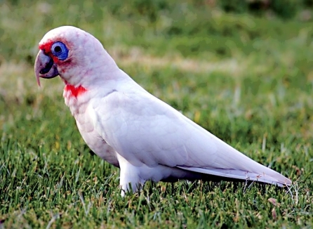 Long-billed Corella (Courtesy of David Taylor)