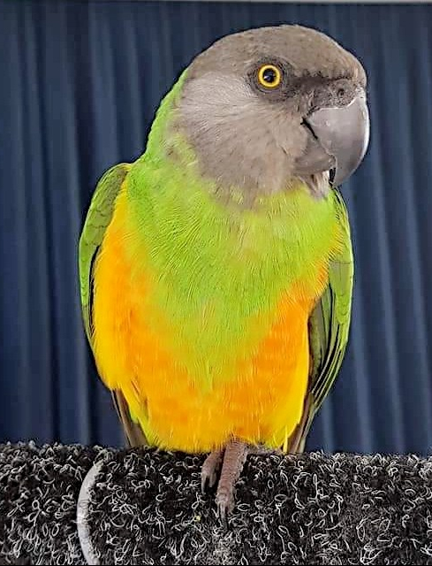 When a Senegal is looking hawkish but oh so beautiful!