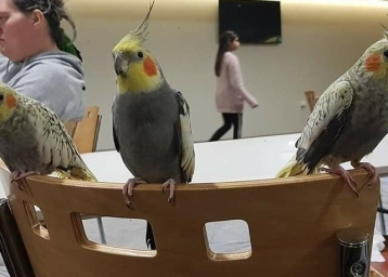 Cockatiels arrive in numbers!