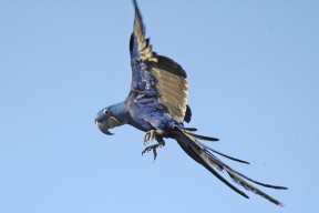 Hyacinth macaw on the wing (Courtesy of Kashmir Csaky)