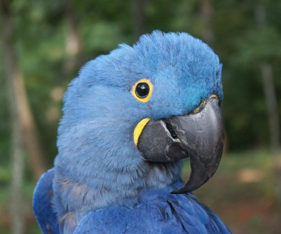 Young hyacinth macaw (Courtesy of Kashmir Csaky)
