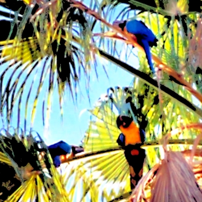 Free flighted blue and golds in the coconut trees in Miami