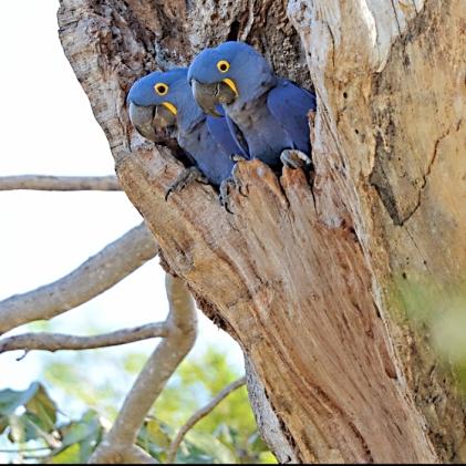 Hyacinth pair in manduvi tree nest (Wikimedia Commons with attribution, Geoff Gilicia)