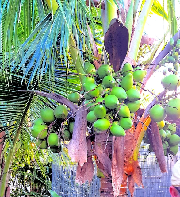 Coconut palm with green fruit