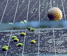 A denuded enrichment coconut and tart fruit parrots prefer