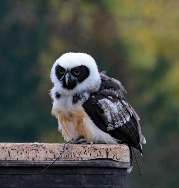 spectacled-owl-1805398_1920 (1).jpg
