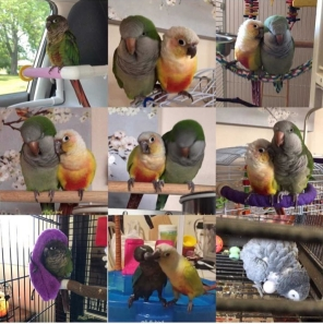 Kiki (rescued) and Kaiyoshi (rehomed), award-winning duet, dominate the most-liked 2018 photos (Courtesy of @fluffy.bird)
