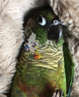 Unknown name, crimson bellied conure (Courtesy of @bird_tails)