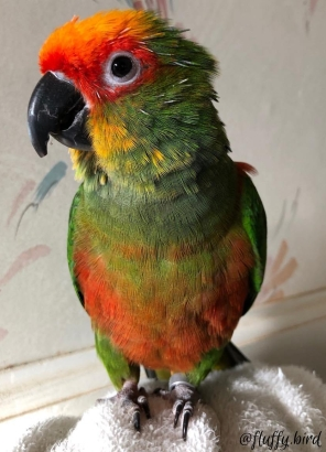 The recently arrived golcapped conure Neopolitan who talks but noone understands yet (Courtesy of @Fluffy.bird)