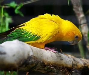 Golden conure -CCO