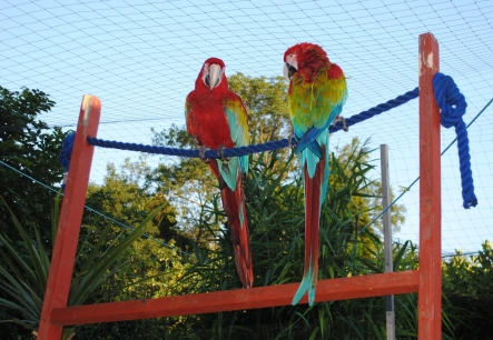 Mitch's macaw duo! (Courtesy of Mitch Knox)