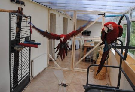 Mitch's macaw duo! (Courtesy of Mitch Knox)