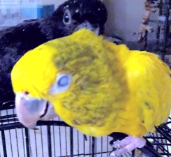 Opie enjoys time with another conure (Courtesy of Shantel Telly Byrf)