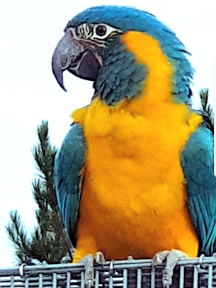 Young blue-throated macaw in conservation breeding program