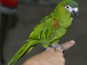Hahn's macaw - CCO