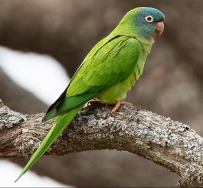 Blue-crowned parakeet - CCO